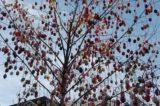 Hranické náměstí opět zdobí kraslicovník / fotogalerie / Na kraslicovníku visí přes 3700 kraslic, foto: Ivana Žáková
