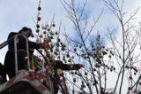 Hranické náměstí opět zdobí kraslicovník / fotogalerie / Pracovnice MKZ Hranice nazdobují letošní kraslicovník, foto: Radka Kunovská