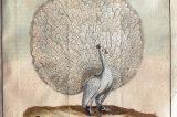 Gallašova knihovna – 210 let od založení / fotogalerie / Vyobrazení páva bílého v knize francouzského přírodovědce Georga Louise Leclerca de Buffona Historie ptáků, vydané v Brně v roce 1786, foto: MKZ Hranice